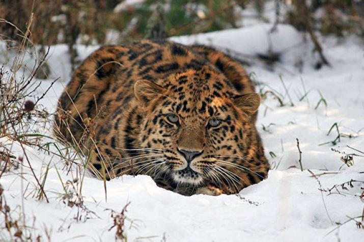 """Leo 80M. Фото предоставлено ФГБУ """"Земля леопарда"""""""