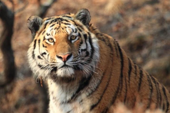 Amur tiger. Photo by: Svetlana Sutyrina