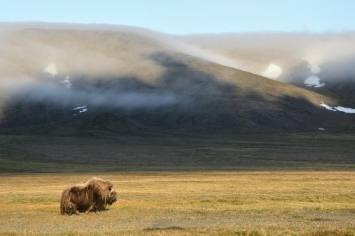 Wrangel Island. Photo by: Alexander Krasnov