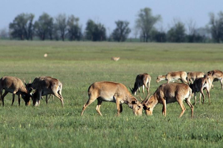 Сайгаки в заповеднике Аскания-Нова. Херсонская область