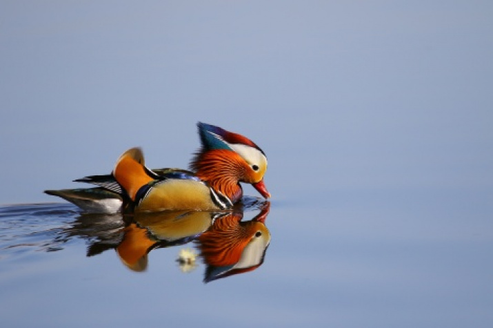 Mandarin duck. Photo by: Pavel Petrushin, the II Most Beautiful Country photo contest  finalist