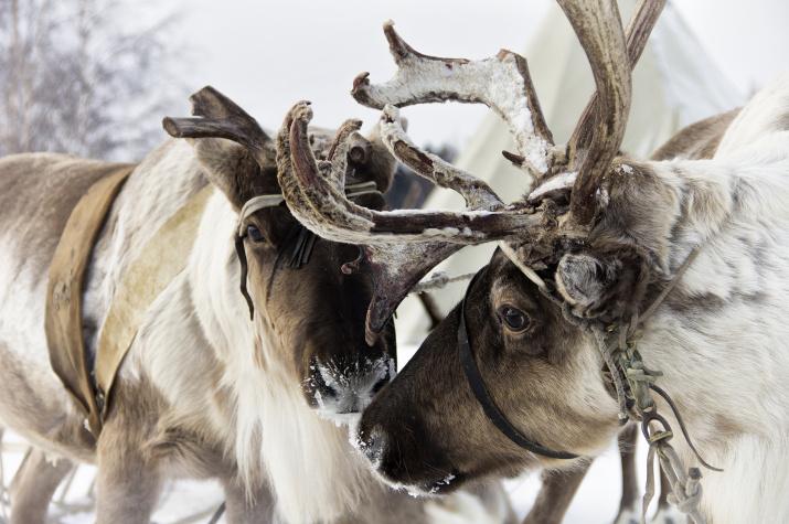 Северный олень. Фото: Анна Михеева