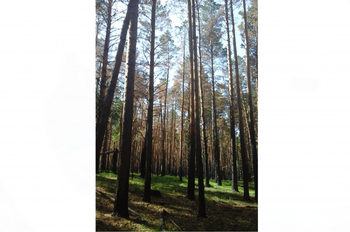 Леса Юргамышского лесничества. Фото предоставлено Курганским отделением РГО.