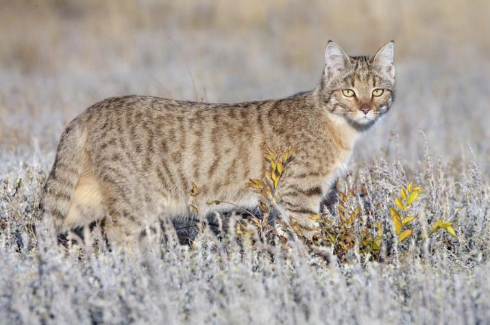 Степная кошка.Фото: В. Мосейкин, с сайта zapovednik-chernyezemli.ru