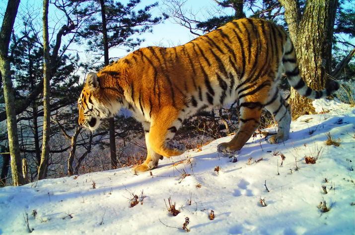 "Амурский тигр. Снимок фотоловушки нацпарка ""Земля леопарда"""