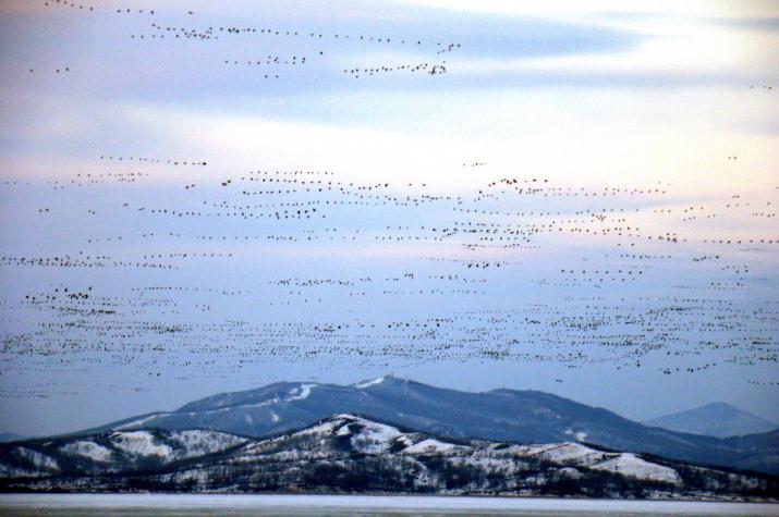 Массовый пролёт гусей. Фото: М.В. Маслов