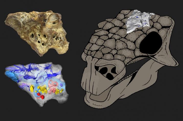 Реконструкция черепа анкилозавра Bissektipelta archibaldi и примерное положение изученного образца ZIN PH 1/16. Изображение с сайта spbu.ru, предоставлено авторами исследования