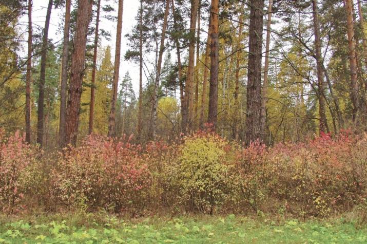 Под пологом сосняка пылают кусты бересклета. Фото: А.А. Чибилёв