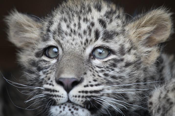 Переднеазиатский леопард Гром. Фото: Умар Семёнов