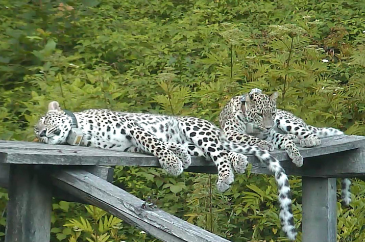 Переднеазиатские леопарды Кодор и Лаба. Фото предоставлено Министерством природных ресурсов РФ