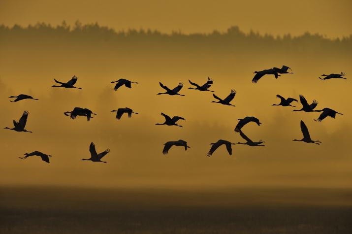 Рассвет журавлей. Фото: Игорь Барташов