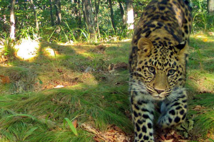 """Дальневосточный леопард. Фото предоставлено ФГБУ """"Земля леопарда"""""""