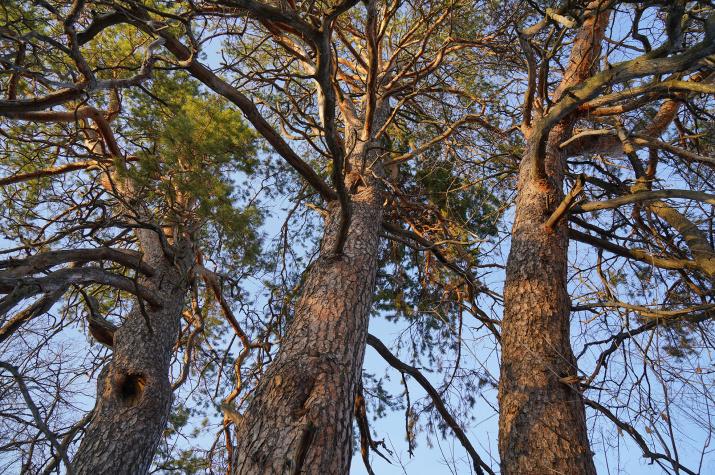 Старовозрастные сосны. Национальный парк «Бузулукский бор». Фото: Вельмовский П.В., ноябрь 2020 г.
