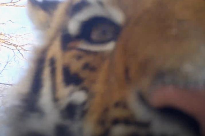 """Кадр из видео с фотоловушки, установленной в национальном парке """"Земля леопарда"""""""