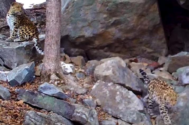 """Фрагмент видео из национального парка """"Земля леопарда"""""""