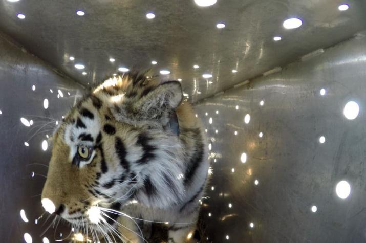 """Путь на волю. Фото: Центр """"Амурский тигр"""""""