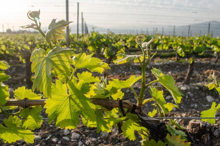 Виноградник, Кавказ. Фото: Ольга Ладыгина