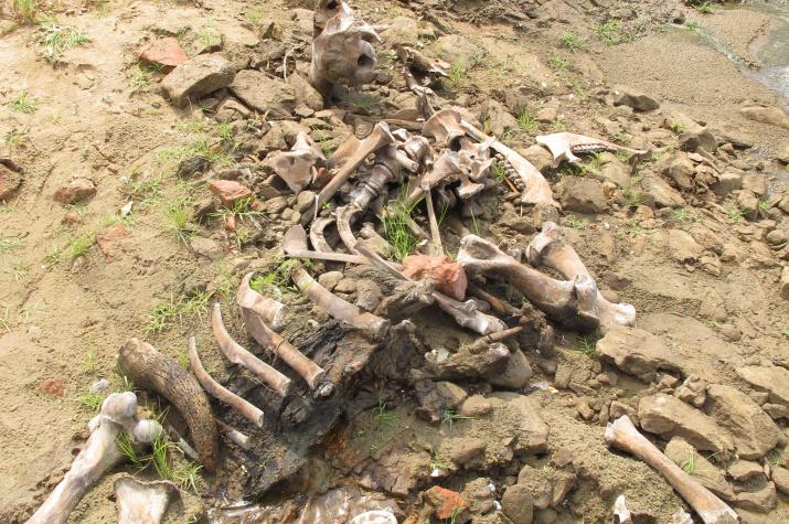 Остатки скелета бизона. Фото Ремизова С.О.