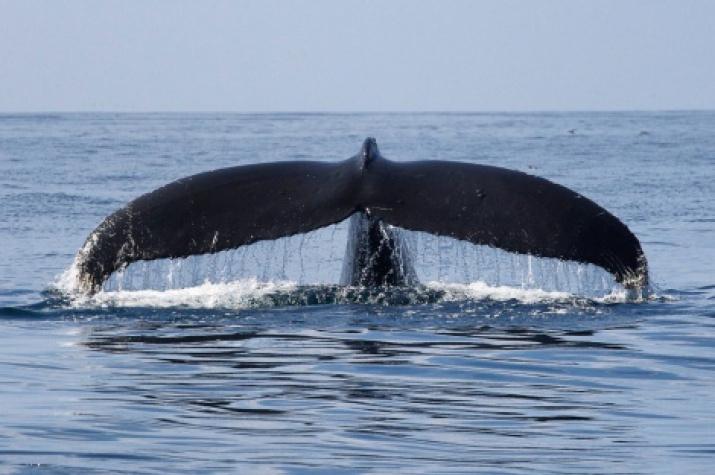 Humpback whale. Photo: Alexander Burdin and Olga Filatova