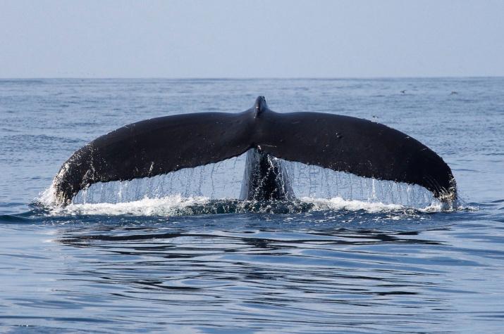 Горбатый кит. Фото: Александр Бурдин и Ольга Филатова