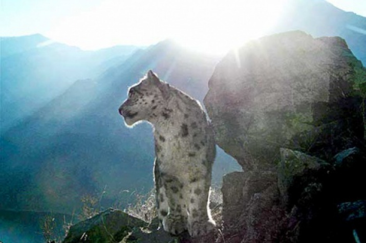 A snow leopard. Photo: Sayano-Shushensky Reserve