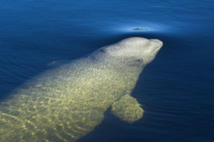 Белуха или белый кит. Фото: Андрей Каменев