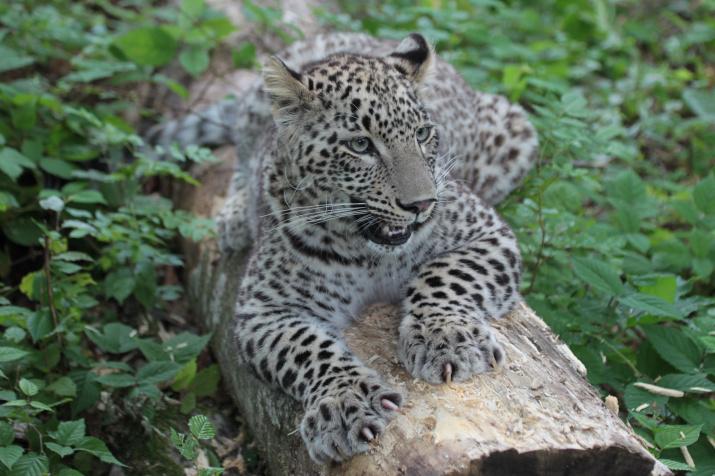Переднеазиатский леопард. Фото предоставлено Центром восстановления леопардов на Кавказе