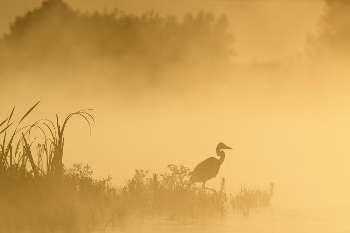 Цапля на охоте. Фото: Николай Каранов