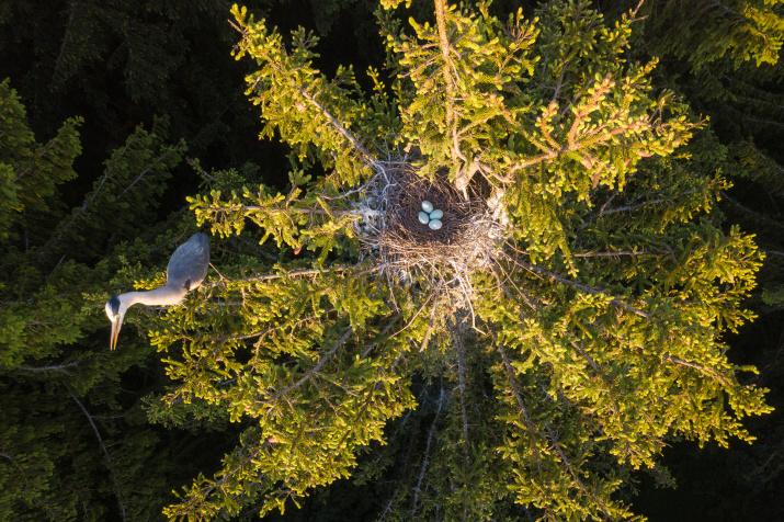 Цапля и гнездо. Фото: Дмитрий Вилюнов
