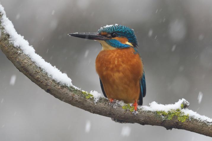 Зимородок на зимовке. Фото: Олег Есиков