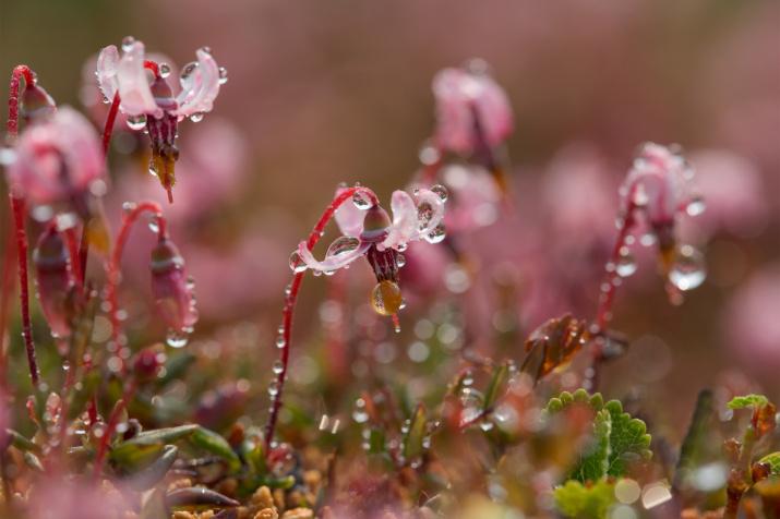 Цветение клюквы. Фото: Евгения Левина