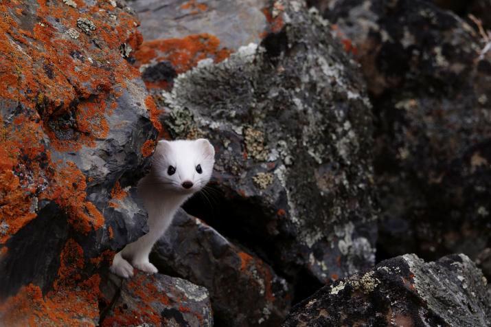 Горностай в алтайском ущелье. Фото: Виктор Тяхт