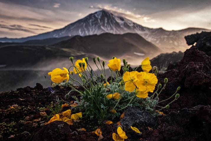 Маки в горах. Автор: Ivleva Marina