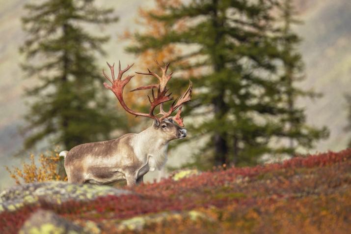 Красные рога. Фото: Владислав Костылев