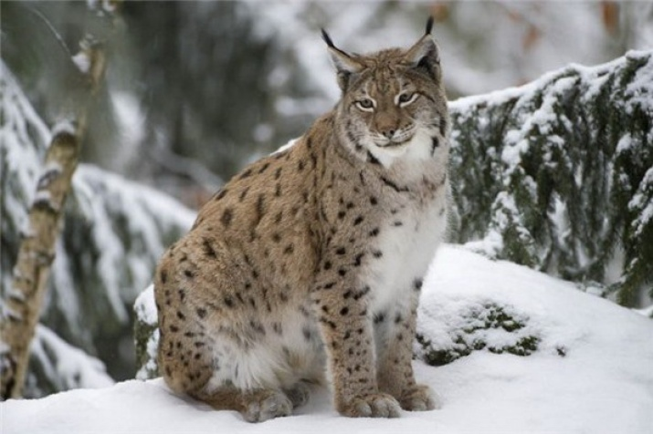 protection of endangered species lynx russian geographical society