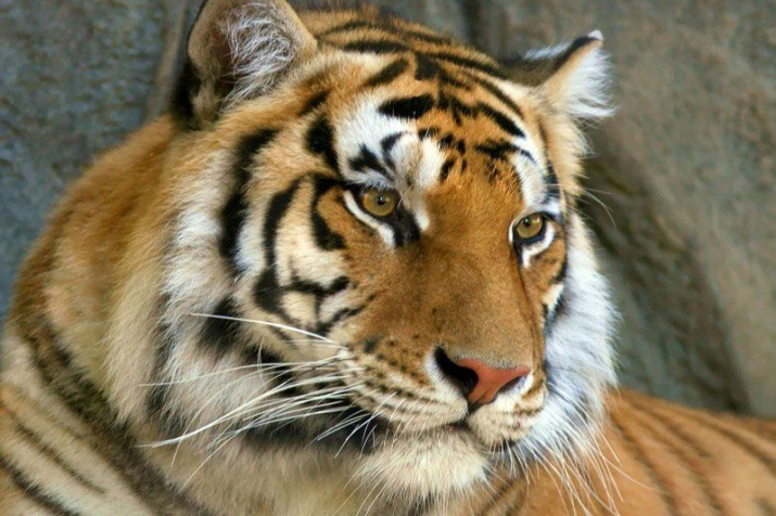 Protection of endangered species: Siberian tiger | Russian