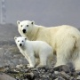 Polar bears on Hooker island. Photo: M. Ivanov