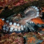 """«Octopus and its environment». Author: Andrey Shpatak, the winner in the category «Underwater World"""""""