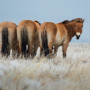 Лошади Пржевальского. Оренбургская область. Фото: Наталия Судец