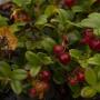 """Брусника. Полуостров Таймыр. Фото: Денис Гаськов, участник фотоконкурса РГО """"Самая красивая страна"""""""