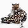Дальневосточный леопард. Фото: Михаил Колесников