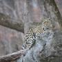 Дальневосточный леопард. Фото: Валерий Малеев