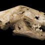 Череп пещерного льва. Фото с сайта wikipedia.org