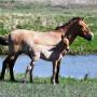 Лошадь Пржевальского Сашенька и жеребенок. Фото: А. Чибилёва