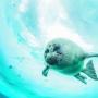 Baikal seal. Photo: Andrey Sidorov