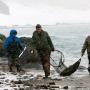 Отлов северных морских котиков. Фото: Дмитрий Уткин