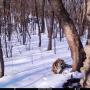"""Фото предоставлено Центром """"Амурский тигр"""""""