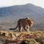Дальневосточный леопард. Скриншот видео Франца Хафнера. С сайта leopard-land.ru