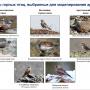 Виды горных птиц, выбранные для моделирования ареалов. Фото: пресс-служба МГУ