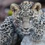 Котёнку леопарда полгода. Фото: Умар Семёнов